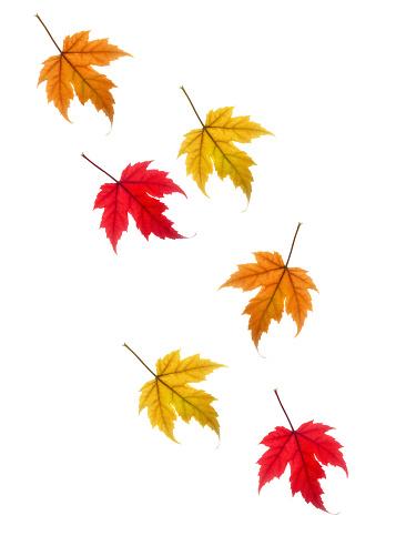 かえでの葉「Colourful drifting autumnal maple leaves on white.」:スマホ壁紙(8)
