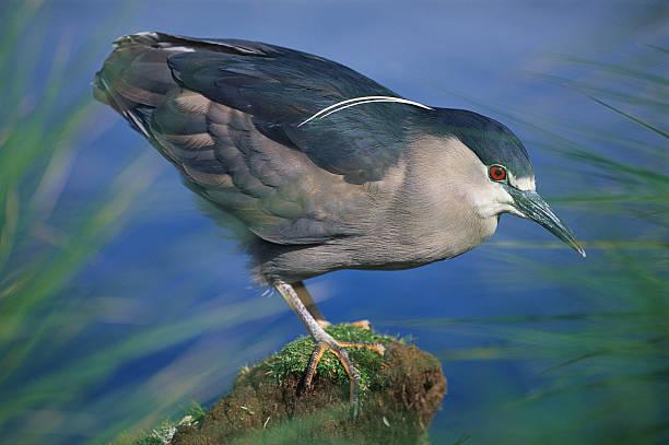 Black-Crowned Heron:スマホ壁紙(壁紙.com)