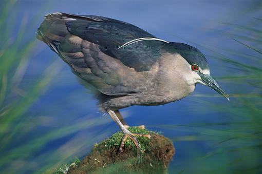 Falkland Islands「Black-Crowned Heron」:スマホ壁紙(18)