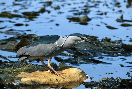Falkland Islands「Black-Crowned Night Heron Fishing」:スマホ壁紙(8)