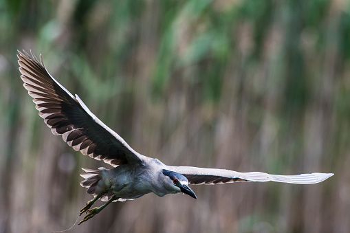 Flapping Wings「Black-crowned night heron flight」:スマホ壁紙(8)