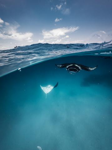 Manta「Manta rays feeding in the ocean - Maldives」:スマホ壁紙(1)