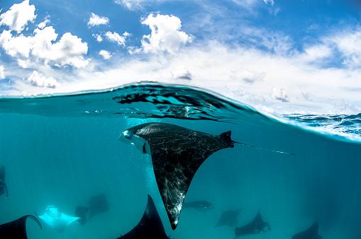 Manta「Manta rays.」:スマホ壁紙(3)
