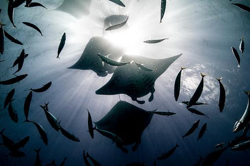Manta「Manta rays.」:スマホ壁紙(2)
