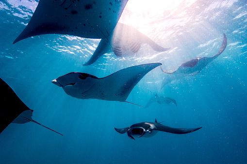 Manta「Manta rays.」:スマホ壁紙(13)