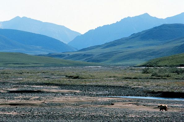 Brown Bear「Arctic National Wildlife Refuge」:写真・画像(11)[壁紙.com]