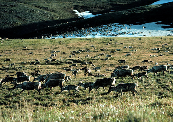 Reindeer「Arctic National Wildlife Refuge」:写真・画像(5)[壁紙.com]
