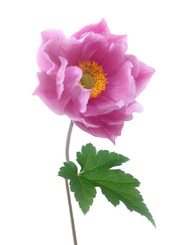 Flower Stigma「Pink Japanese anemone flower with one leaf, on white.」:スマホ壁紙(17)