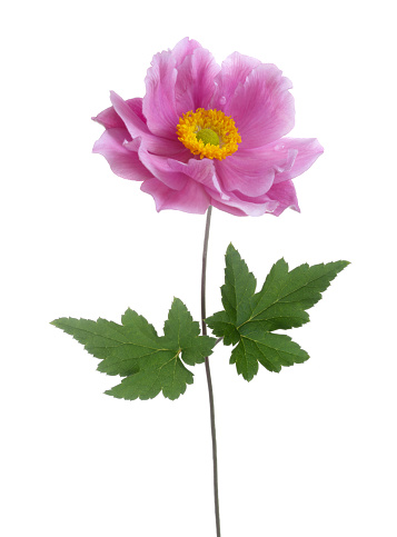 Sensory Perception「Pink Japanese anemone flower with two leaves on white.」:スマホ壁紙(8)