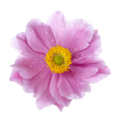 Flower Stigma「Pink Japanese Anemone flower with water drops, on white.」:スマホ壁紙(19)