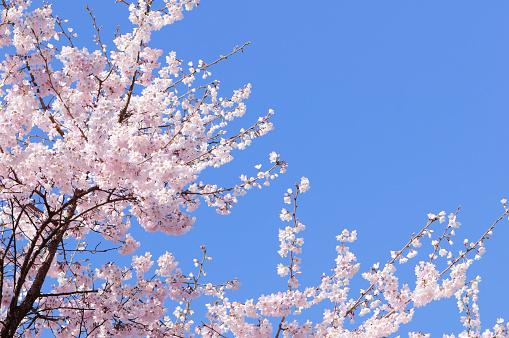 桜「ピンクの日本の桜の木、spring blossoms」:スマホ壁紙(6)