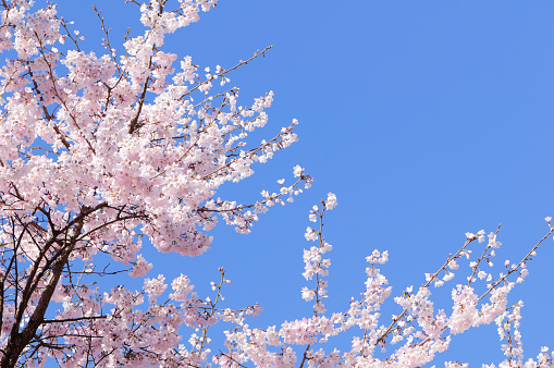 Blossom「ピンクの日本の桜の木、spring blossoms」:スマホ壁紙(9)
