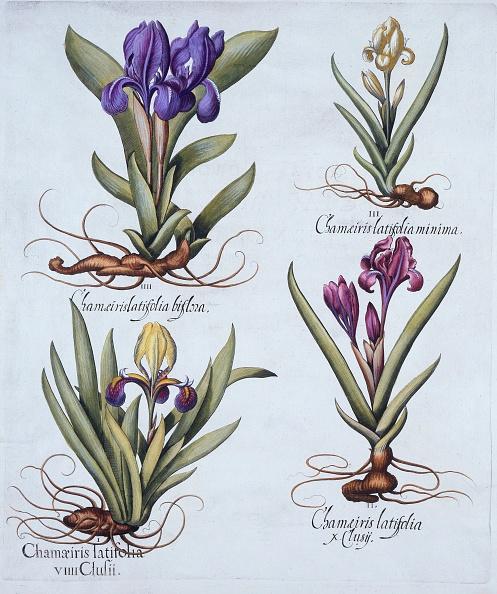 紫「Variegated Dwarf Bearded Iris」:写真・画像(5)[壁紙.com]