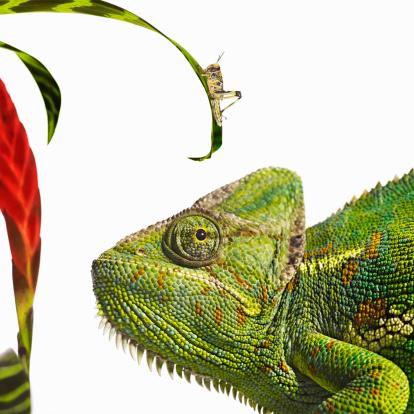 Animals Hunting「Chameleon looking at locust」:スマホ壁紙(11)