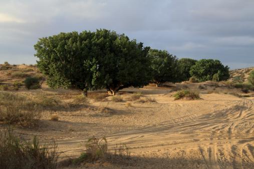セイヨウカジカエデ「Tourism in Sand」:スマホ壁紙(10)