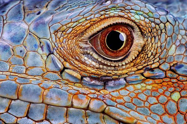Iguana (Iguana iguana) eye, close-up:スマホ壁紙(壁紙.com)