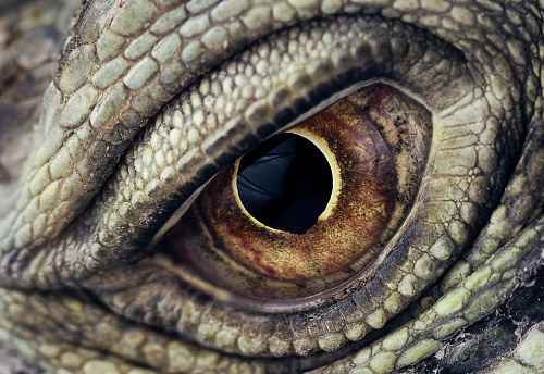 Animal Skin「Iguana Eye Closeup」:スマホ壁紙(2)