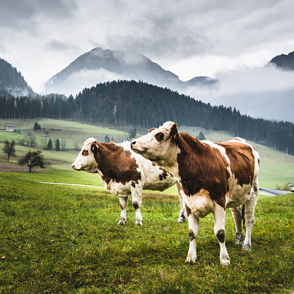Pasture「wild cows in the alps for the pasture」:スマホ壁紙(14)