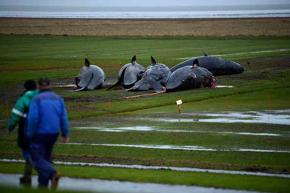 Aquatic Mammal「More Dead Sperm Whales Washing Up On German Shores」:写真・画像(12)[壁紙.com]