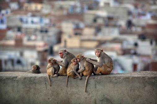 Grooming - Animal Behavior「Macaques grooming on Monkey temple in Jaipur」:スマホ壁紙(16)