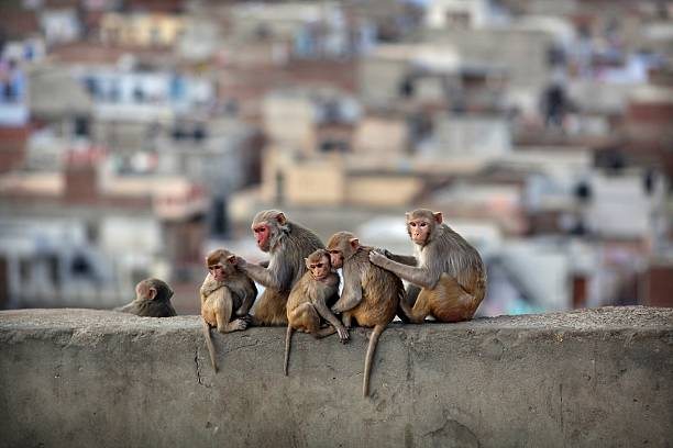 Macaques grooming on Monkey temple in Jaipur:スマホ壁紙(壁紙.com)