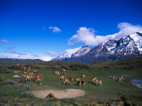 Guanaco「Herd of guanaco graze near mountains and Towers. Torres Del Paine National Park, Chile, Patagonia.」:スマホ壁紙(10)