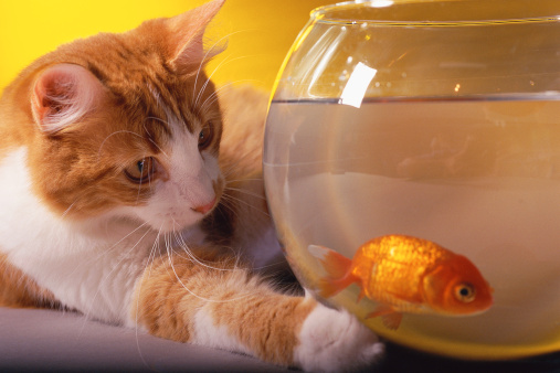 Rivalry「Cat with paw on fishbowl, staring at goldfish」:スマホ壁紙(8)
