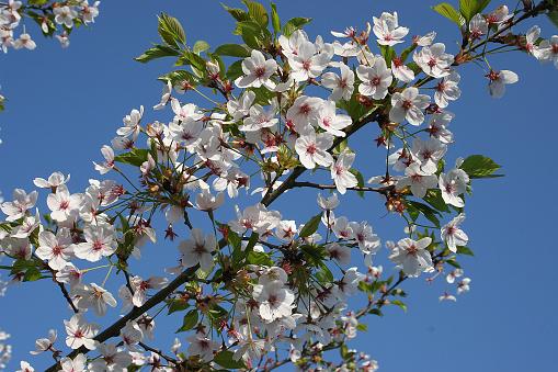 桜祭り「Japanische Maienkirsche」:スマホ壁紙(8)