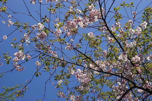 桜祭り「Japanische Maienkirsche」:スマホ壁紙(10)