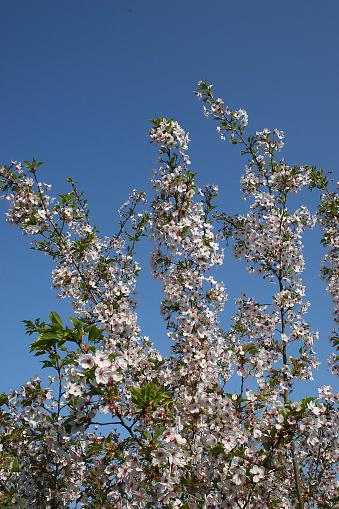 桜祭り「Japanische Maienkirsche」:スマホ壁紙(12)