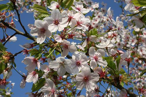 桜祭り「Japanische Maienkirsche」:スマホ壁紙(9)