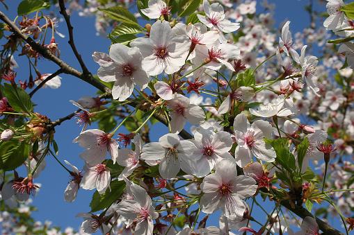 桜祭り「Japanische Maienkirsche」:スマホ壁紙(13)