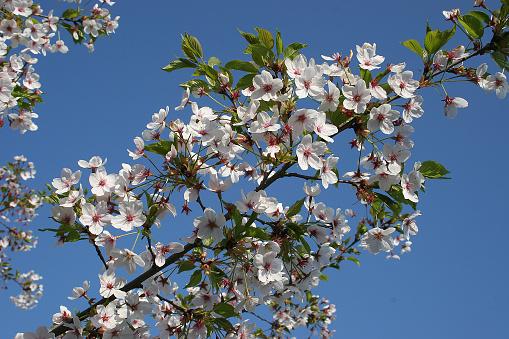 桜祭り「Japanische Maienkirsche」:スマホ壁紙(14)