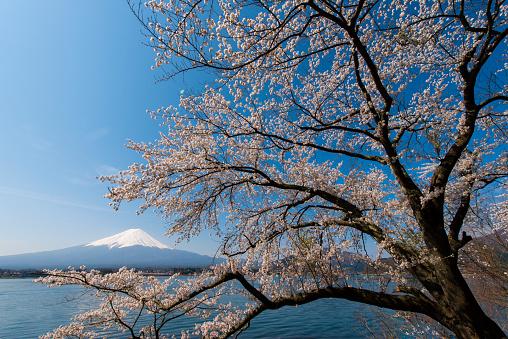 Cherry Blossoms「Blue Sky Mt Fuji and Cherry Blossom」:スマホ壁紙(16)