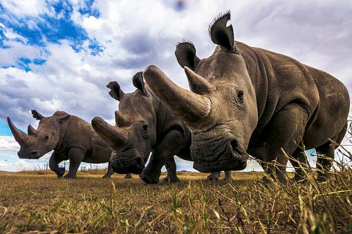 Rhinoceros「Rare Northern white rhinos in Laikipia savanna.」:スマホ壁紙(10)