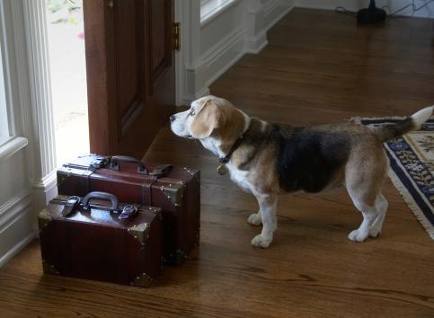 Front Door「Beagle dog leaving home」:スマホ壁紙(4)