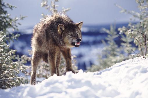 Animals Hunting「Snarling Wolf」:スマホ壁紙(17)