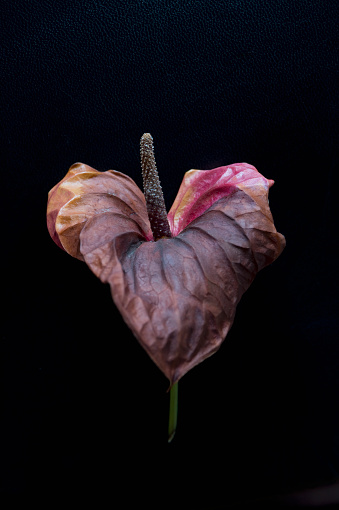 Anthurium「Wilted flamingo flower in front of black background」:スマホ壁紙(4)