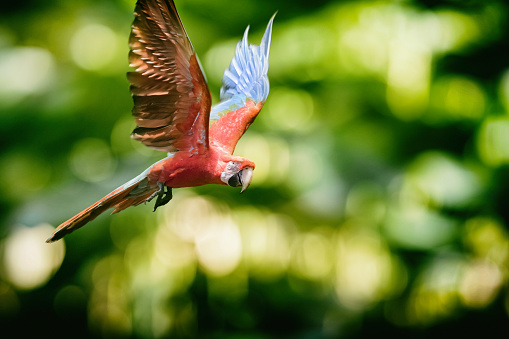 Amazon Rainforest「Ara gold and blue macaw flying in the rainforest」:スマホ壁紙(13)