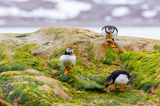 Svalbard Islands「Puffins off the coast of Spitsbergen」:スマホ壁紙(12)