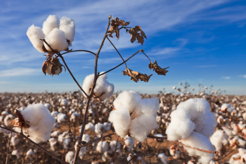 Gulf Coast States「Cotton in field ready for harvest」:スマホ壁紙(11)
