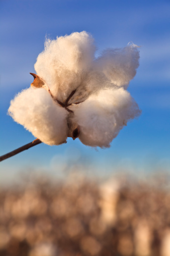Organic「Cotton in field ready for harvest」:スマホ壁紙(14)