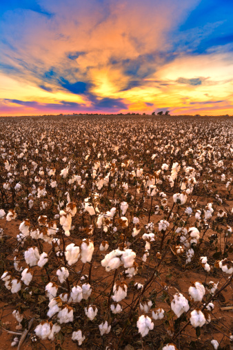 Dietary Fiber「Cotton in field at sunset ready for harvest」:スマホ壁紙(18)