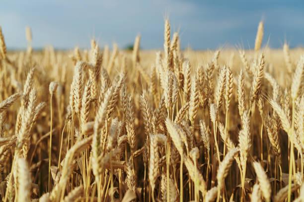 Field of golden wheat:スマホ壁紙(壁紙.com)