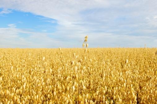 Rolling Landscape「Field of Golden Oats」:スマホ壁紙(10)