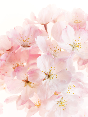Cherry Blossom「Bouquet of pink cherry blossoms」:スマホ壁紙(5)