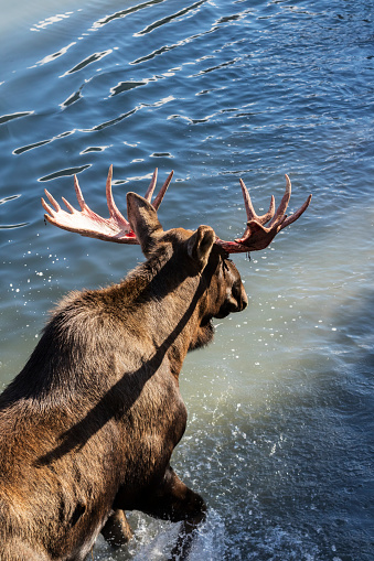 Red Bull「Bull moose (alces alces) just coming out of shedding its velvet and antlers look a little red, wading into the water, captive in Alaska Wildlife Conservation Centre」:スマホ壁紙(18)
