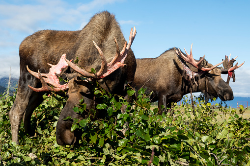 Red Bull「Bull moose (alces alces) just coming out of shedding velvet and antlers look a little red, captive at the Alaska Wildlife Conservation Centre」:スマホ壁紙(7)