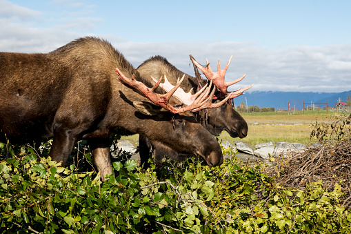 Red Bull「Bull moose (alces alces) coming out of shedding velvet and antlers look a little red, captive at the Alaska Wildlife Conservation Centre」:スマホ壁紙(8)