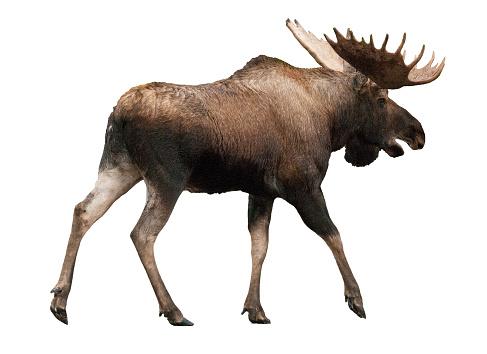 Mammal「Bull Moose cut-out, against white backdrop.」:スマホ壁紙(19)